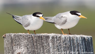 Terns at Assateague